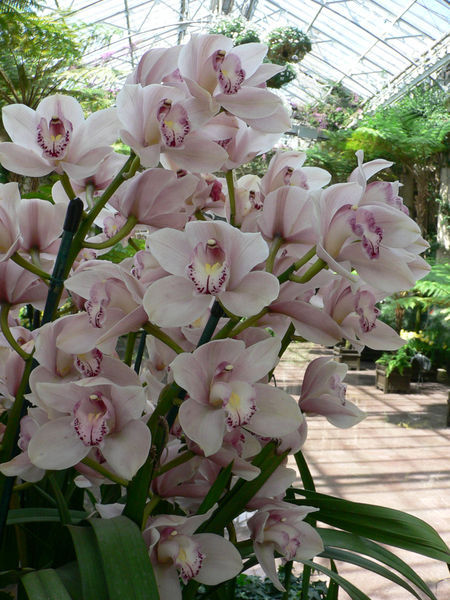 Flowers & Decor, Flowers, Orchids, Cybidium