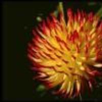 Flowers & Decor, Flowers, Dahlia