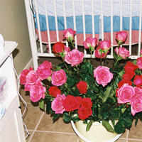 Flowers & Decor, pink, Flowers, Roses, Pikes, Peak, Pikes peak