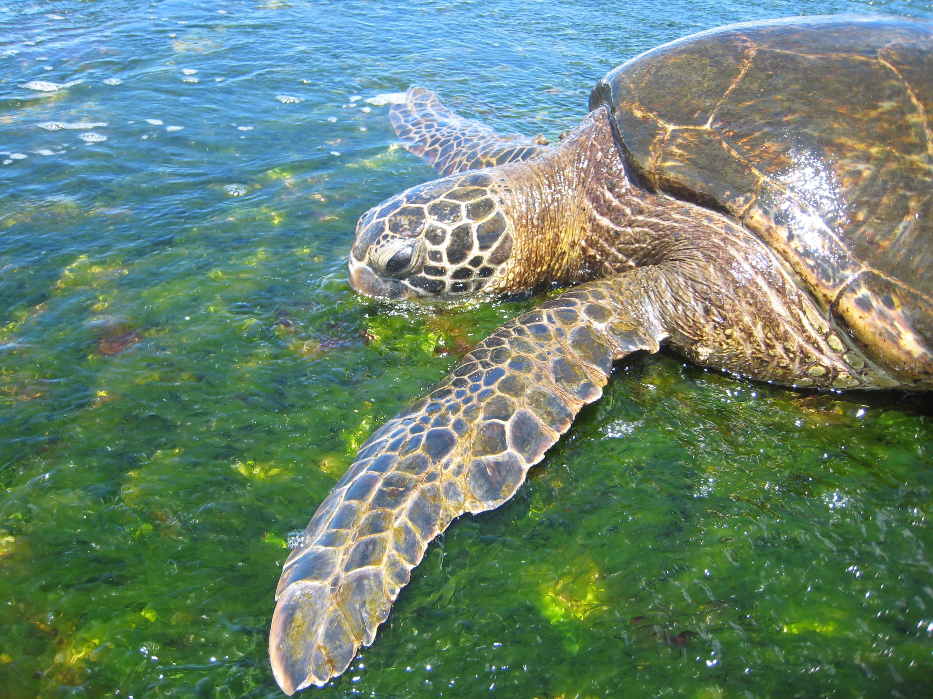 In, Oahu, Turtle
