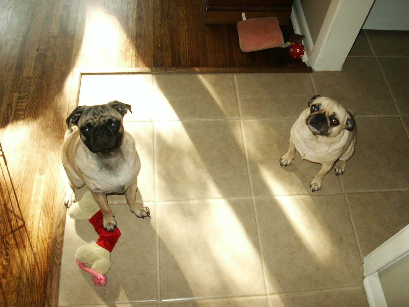 Dog, Pug, Furbabies