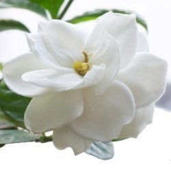 Flowers & Decor, white, Flowers, Gardenia