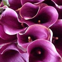 purple, Cala, Lillies
