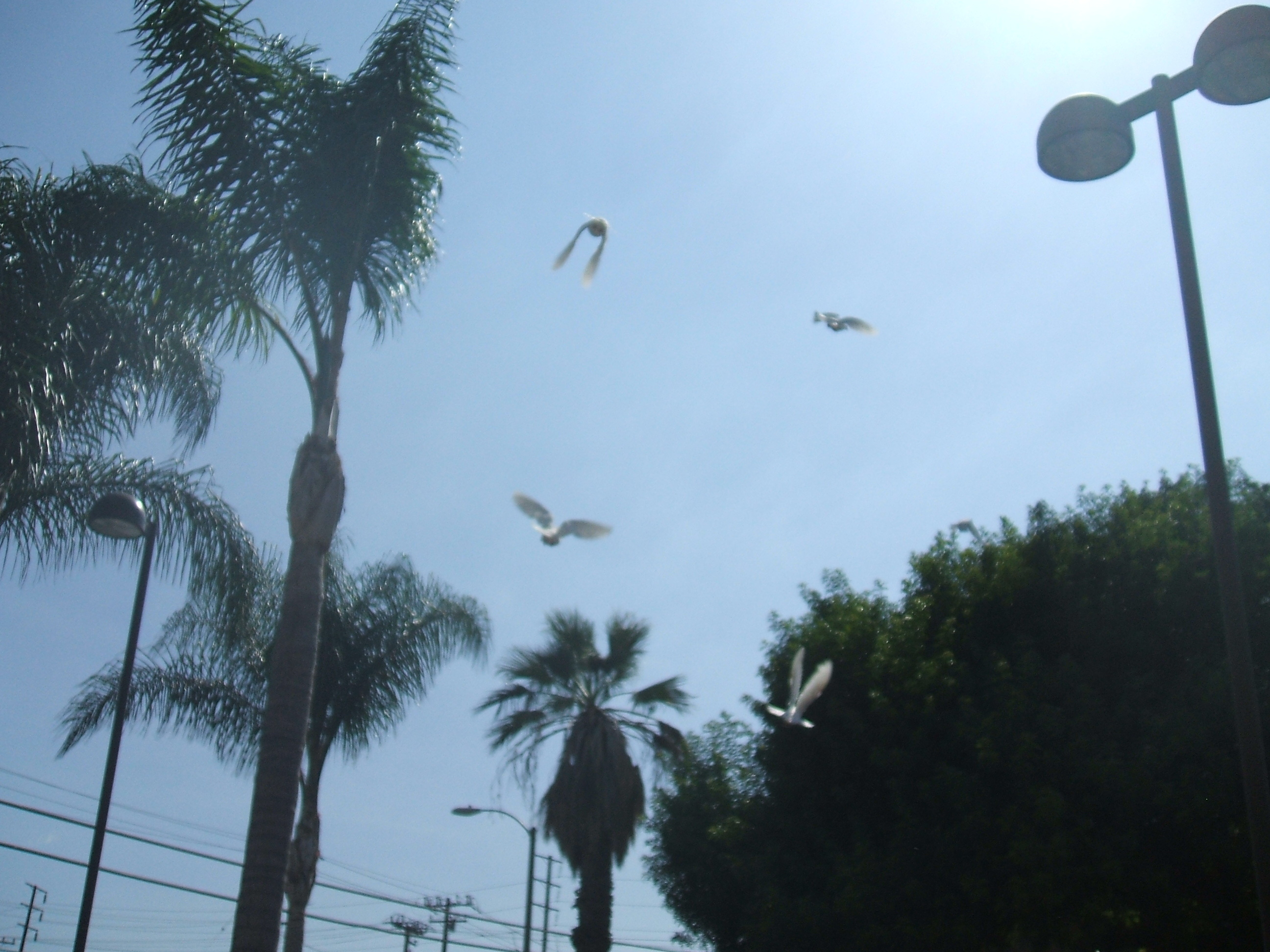 white, Doves, 714-903-6599