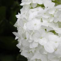 Flowers & Decor, white, Flowers, Hydrangea