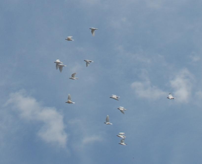 white, Doves