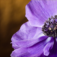 Flowers & Decor, purple, Flowers, Anemone