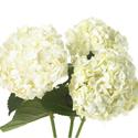 white, Hydrangea