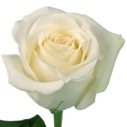 white, Rose