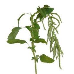 green, Hanging, Amaranthus