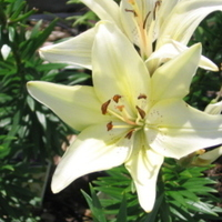 Flowers & Decor, white, Flowers, Lillies, Asiatic