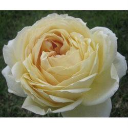 Flowers & Decor, Garden, Flowers, Garden Wedding Flowers & Decor, Rose, Caramel