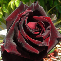 Ceremony, Inspiration, Reception, Flowers & Decor, red, black, Ceremony Flowers, Flowers, Board