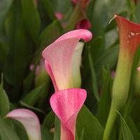 Flowers & Decor, orange, green, Flowers, Calla llily