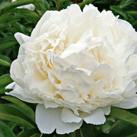 Flowers & Decor, white, Centerpieces, Flowers, Centerpiece, Cream, Peony