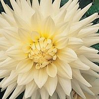 Flowers & Decor, white, Centerpieces, Flowers, Centerpiece, Cream, Dahlia