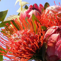 Flowers & Decor, orange, pink, Flowers, Proteas
