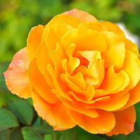 Flowers & Decor, orange, Flowers, Rose