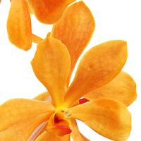 Flowers & Decor, orange, Flowers, Mokara