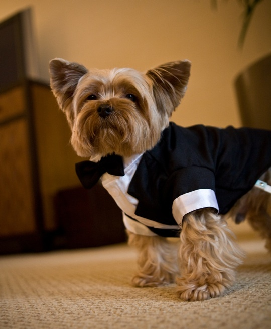Fashion, Men's Formal Wear, Dog, Tux, Dapper dog