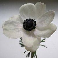 Flowers & Decor, white, black, Flowers