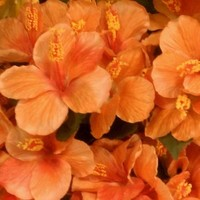 Flowers & Decor, orange, Flowers, Hydrangeas