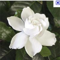 Flowers & Decor, white, Flowers, Gardenia