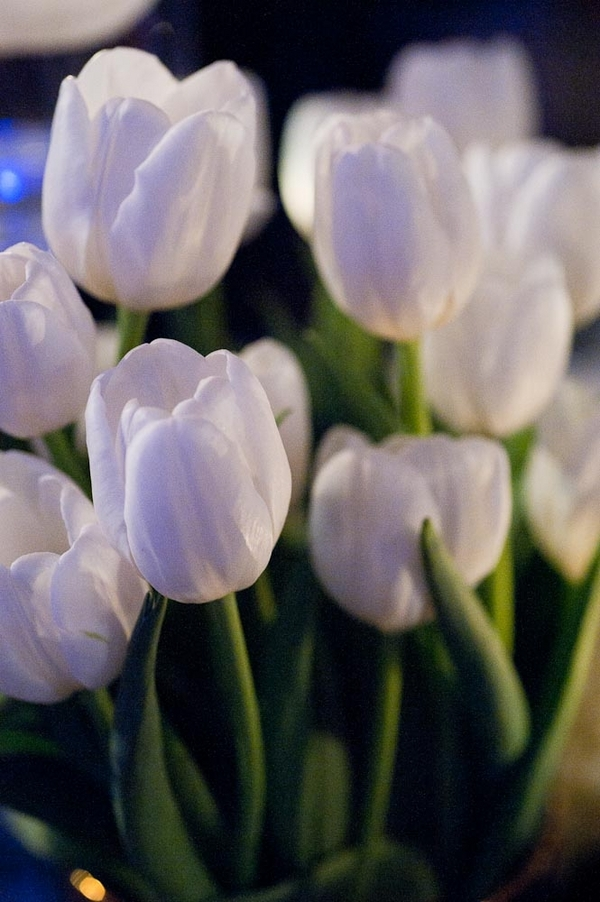 white, Tulips, Lauren paul