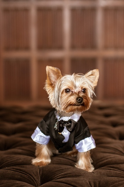 Wedding, Yorkie, Marisa harris, Dog in tux, Yorkshire terrier