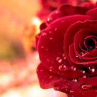 Flowers & Decor, red, Flowers, Rose, Crimson, Deepred, Weddingcolors, Weddingcolor