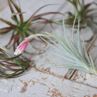 DIY: Embellishing with Air Plants