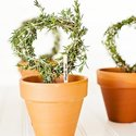 1375152545 thumb 1368123467 content diy rosemary topiaries 1