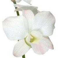 Flowers & Decor, white, Flowers, Dendrobium orchid