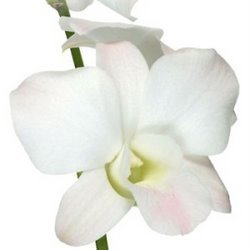 Flowers & Decor, white, Flowers, Dendrobium orchid