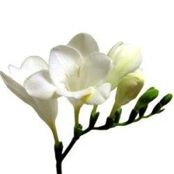 Flowers & Decor, white, Flowers, Freesia