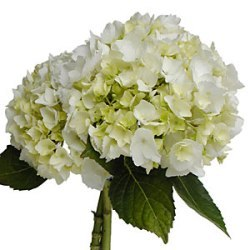 Flowers & Decor, white, Flowers, Hydrangea