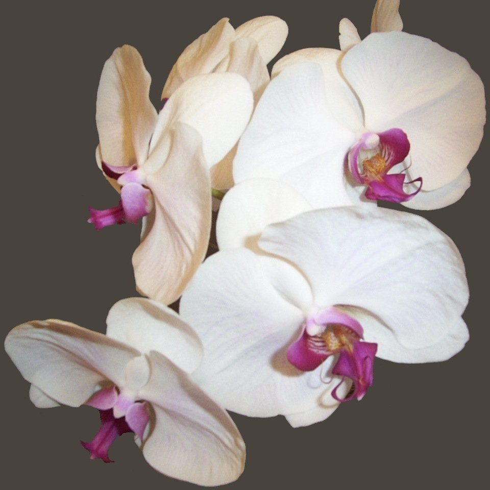Flowers & Decor, white, Flowers, Phalaenopsis orchid