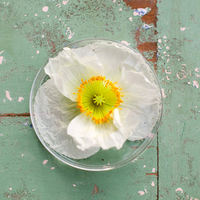 White and Yellow Poppy