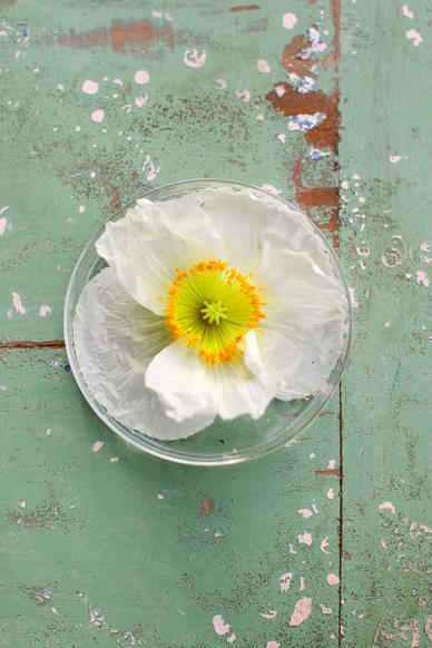 White and Yellow Poppy