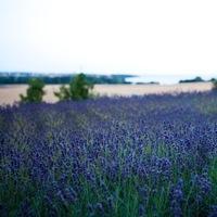 Destination, Lavender