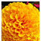 1382538682 small thumb marigold