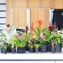 1383570274_thumb_photo_preview_woonplant-bromelia-3-547x377