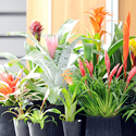 1383570274_thumb_photo_preview_woonplant-bromelia-4-547x377