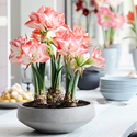 1385037077_thumb_photo_preview_hippeastrum_woonplant_van_de_maand_december_2013