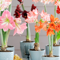 December: Hippeastrum is Woonplant