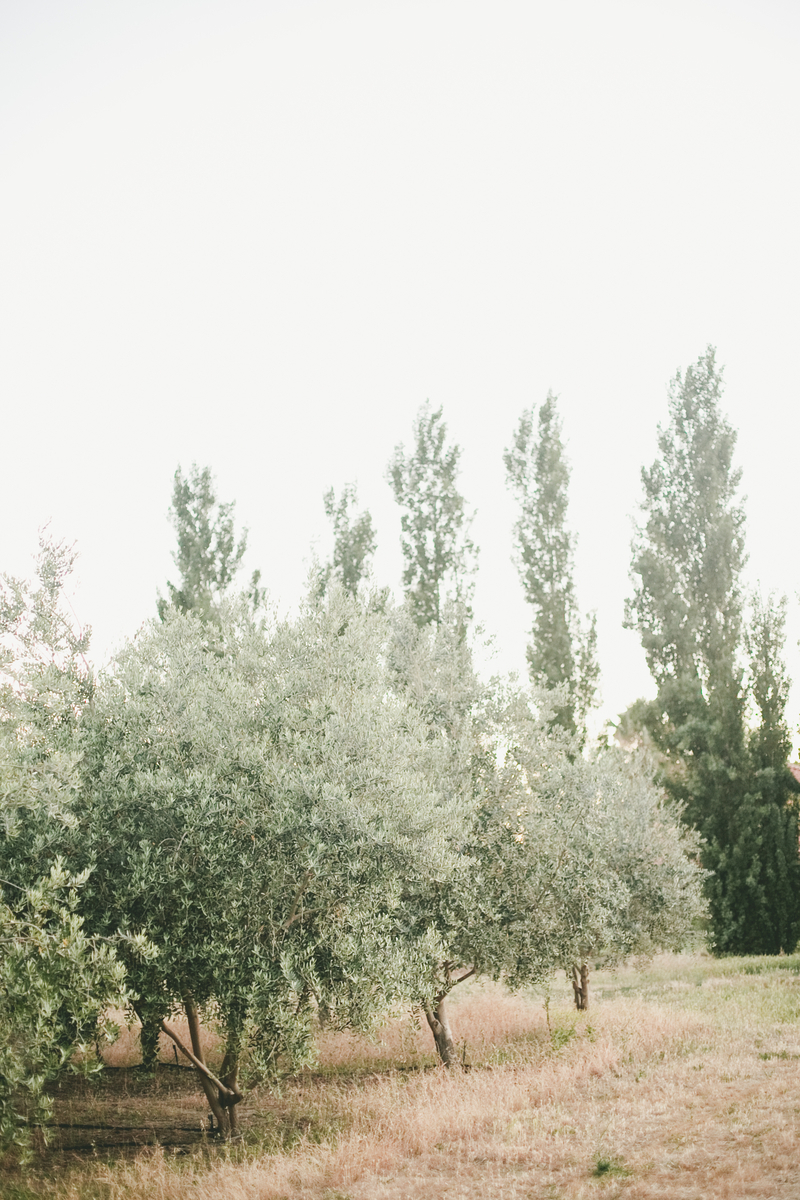Olive Tree Backdrop