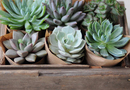 1394241490_thumb_succulent-favors-1