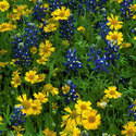 1396565565_thumb_photo_preview_yellow_and_blue_wildflower