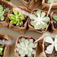 Planted Succulent Favors