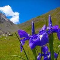 Wild Iris from the Pyrenees
